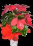 Estrela Natal (Poinsétia)