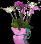 Phaleonópsis
