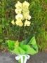 Phaleonópsis Amarela