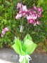 Phaleonópsis Branca/Cerise