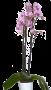 Phaleonópsis Rosa