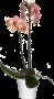 Phaleonópsis Tigre
