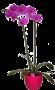 Phaleonópsis Cerise